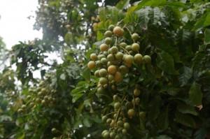 Weizhou_Frucht
