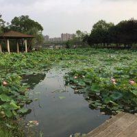 Lotus, Hunan Stolz