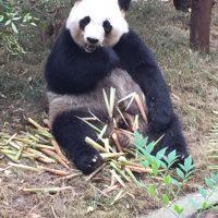 Pandabären in Chengdu