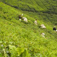 Cameroonhights - Teeplantagen in Malaysia